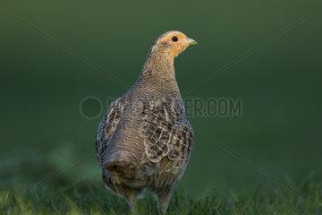 Grey partridge (Perdix perdix)  Burgundy  France