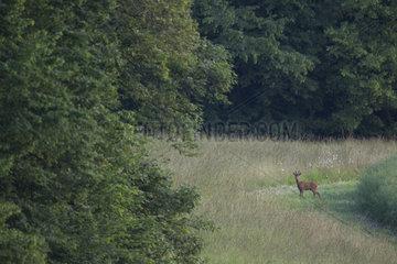 Roe deer (Capreolus capreolus) Buck  Burgundy  France