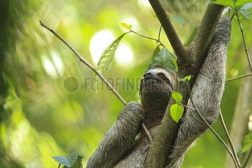 Brown-throated Three-toed Sloth (Bradypus variegatus)  Manuel Antonio National Park  Costa Rica