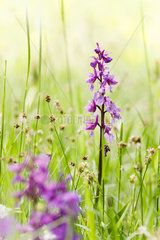 Early-purple orchid (Orchis mascula)  Alsace  France