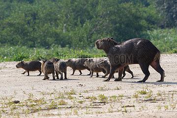 Capybara (Hydrochoerus hydrochaeris) and young  Pantanal  Brazil