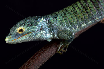 Bocourt's arboreal alligator lizard (Abronia vasconcelosii) is endemic to the Sierra Madre de Chiapas region in Guatemala.