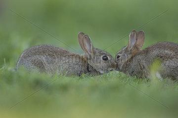 Rabbit (Oryctolagus cuniculus) juveniles  Burgundy  France
