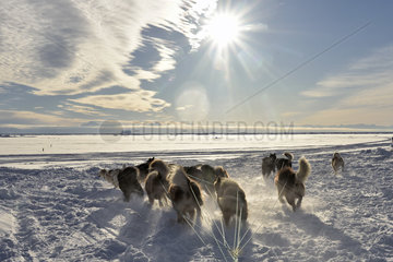 Departure of a team of sled dogs in Scoresbysund  Ittoqqotoormiit Village  East Greenland