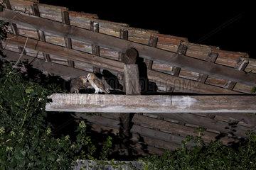 Barn Owl (Tyto alba) feeding outdoors  Alsace  France