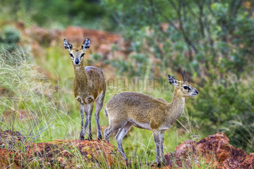 Klipspringer (Oreotragus oreotragus) in Mapungubwe National park  South Africa.