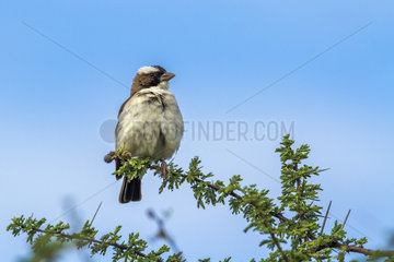 White-browed Sparrow-Weaver (Plocepasser mahali) in Mapungubwe National park  South Africa.