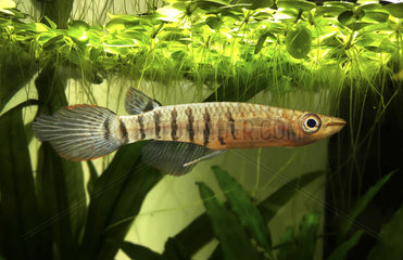 Striped Panchax  Apocheilus lineatus. Wild colour form. They occour in Asia  from Pakistan to the Philippines. They live near the surface and feed on mosquito larvae  small fish and small animals that fall into the water. They are very common in aquarium because they are one of the most resistant killifish in captivity. Portugal