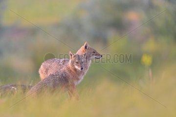 European jackal (Canis aureus moreoticus) pair  Danube Delta  Romania
