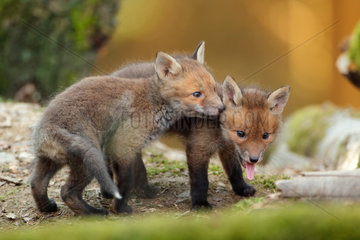 Red fox (Vulpes vulpes)  Young  Ardennes  Belgium