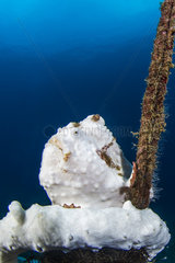 Painted frogfish (Antennarius pictus)  Lembeh Strait  Indonesia
