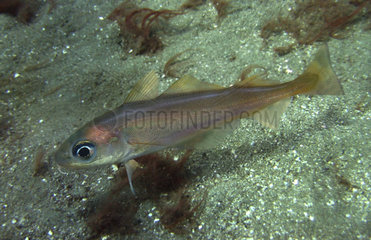 Poor cod  Trisopterus minutus. On sand bottom. Its distribution spans the eastern Atlantic  from Norwegian coasts to Portugal and along the Atlantic coast of Morocco; also in the Mediterranean. It is commercially harvested for the production of fish meal  and in southern Europe as human food. Portugal