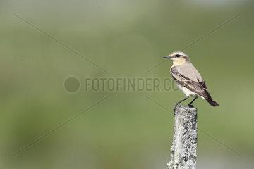 Northern wheatear (Oenanthe oenanthe) female on a stake  Europe