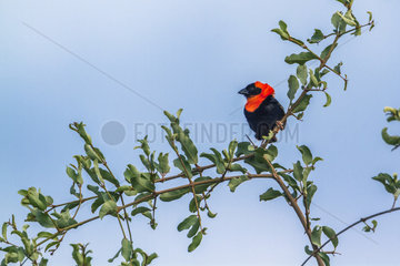 Southern Red Bishop (Euplectes orix) in Mapungubwe National park  South Africa.