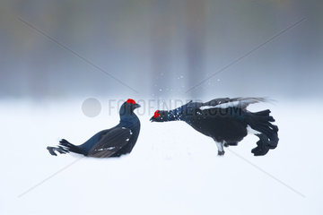 Two Blackcocks fight during the Lek in Norway.