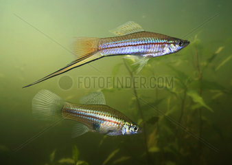 Green swordtail couple (female bellow)  Xiphophorus hellerii. The name ?swordtail? is derived from the elongated lower lobe of the male?s caudal fin. It's a popular aquarium fish but has become a nuisance pest as an introduced species in a number of countries. It has caused ecological damage because of its ability to rapidly reproduce in high numbers. Native from North and Central America.