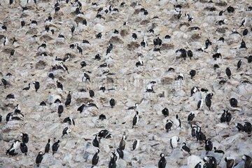 Gathering of Blue-eyed King Shags Antarctica