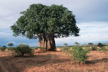 Baobab éventré par un elephant à Tarangire NP Tanzanie