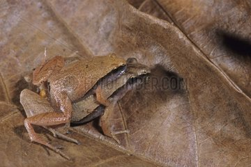 Dark-sided chorus frog mating Singapore