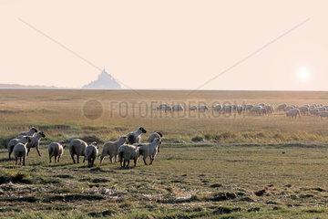 Sheep-Salted Sheep  Le Gue-de-l'Epine  Val-Saint-Pere  Mont-Saint-Michel Bay  Manche  Normandy  France
