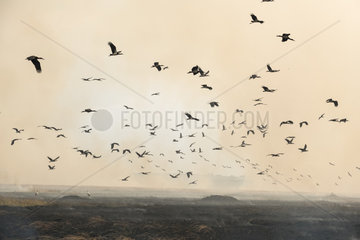 White Stork (Ciconia ciconia) and Abdim's Stork (Ciconia abdimii)  foraging near bush fires  Masai-Mara Reserve  Kenya