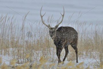 Sika deer (Cervus nippon) male walking in the snow in winter  Hokkaido  Japan
