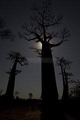 Baobab Alley in Menabe Madagascar
