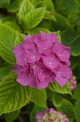 Hydrangea 'Mme G.F. Bier' in bloom in a garden