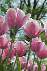 Tulip 'Salmon Impression' in bloom in a garden