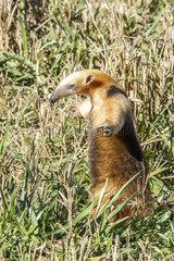 Southern Anteater (Tamandua tetradactyla) standing  Formoso River  Bonito  Mato Grosso do Sul  Brazil