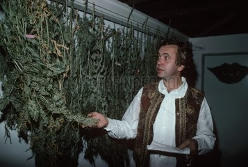 Marijuana hung and dried in a coffee shop in the Netherlands
