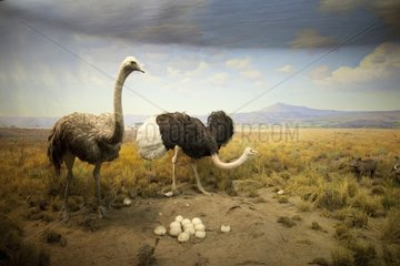 Reconstitution of a couple of ostrich in a museum New York