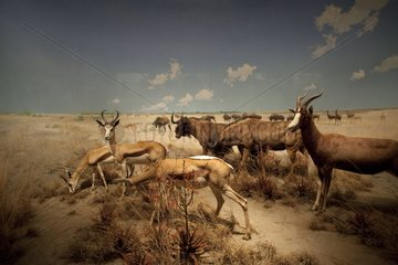 Reconstitution of a group of herbivorous of the Kalahari