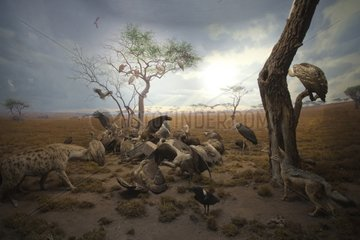 Reconstitution of a group of scavengers of the Serengeti
