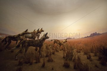 Reconstitution of african wild dogs hunting in the Serengeti
