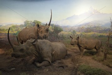 Reconstitution of a group of black rhinoceros of the Kenya