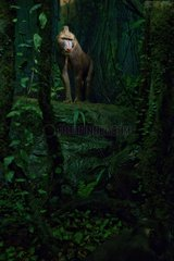 Reconstitution of a Mandrill in the forest of the Cameroun