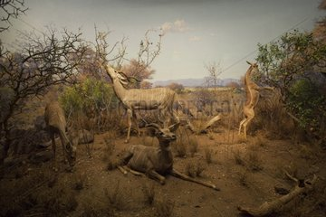 Reconstitution of a group of Lesser Kudus in Tanzania