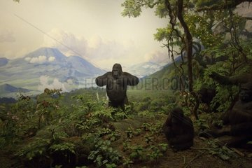 Reconstitution of a group of gorillas in the mountains