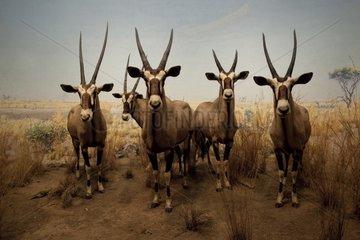 Reconstitution of a group of Gemsboks in the Kalahari