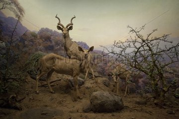 Reconstitution of a group of Greater Kudus in Tanzania