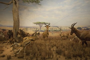 Reconstitution of a group of herbivorous in the Serengeti