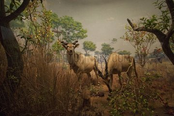 Reconstitution of Giant Elands in the savannah of the Sudan
