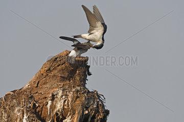 White-winged Swallow (Tachycineta albiventer) adult feeding a juvenile  Pantanal  Brazil