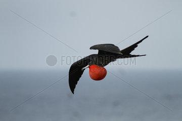 Magnificent Frigatebird (Fregata magnificens) male displaying  Isla Isabella  Nayarit  Mexico
