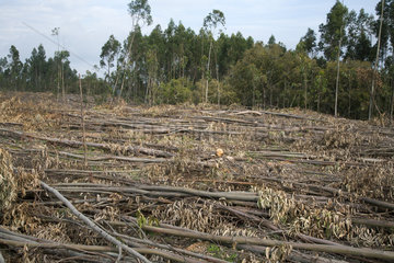 Eucalyptus tree. Deforestation for manufacture of paper pulp. Portugal