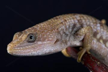 Texas alligator lizard (Gerrhonotus infernalis)