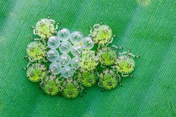 Newly hatched Pentatomid bug nymphs (Pentatomidae) with empty egg shells.