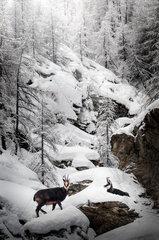 Chamois (Rupicapra rupicapra) in the snow  Granparadiso  Aosta  Italia
