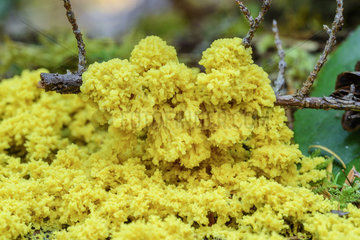 Scrambled egg slime (Fuligo septica) in the rainforest of Vancouver Island  British Columbia  Canada